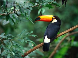 A_Gentle_Toco_Toucan