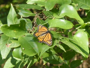 Viceroy butterfly. These are smaller than Monarchs and lack the white spots on the black body. They also have a black bar across the hindwing that Monarchs lack.