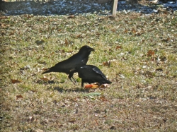 I love attracting crows with whole corn.  Check out the kernels in their beaks!