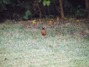 Lousy photo but here's a robin enjoying some cooler, softer ground where I had been running the mister.