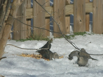 A rare winter snow brought in an even rarer Rusty Blackbird.