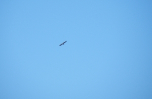 Immature Bald Eagle riding a thermal over Noble County fields.