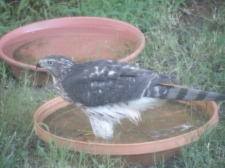 An immature Cooper's Hawk cools off on a hot day.