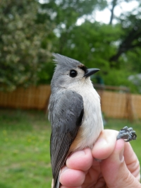 Tufted Titmouse, a happy customer in our yard.
