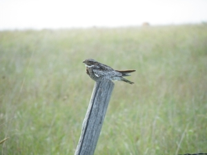 Common Nighthawks are easy to find during daylight hours in Oklahoma pastures.
