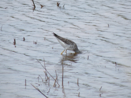 Lesser Yellowlegs under water!