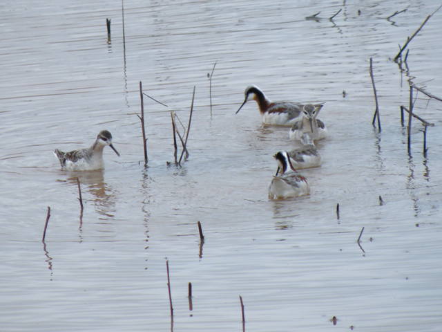 Wilson's Phalaropes.  The bright ones are the females.