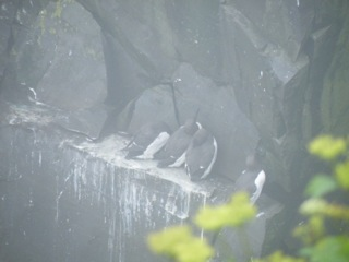 Couldn't turn them into Thick-billed Murres, despite my best efforts.