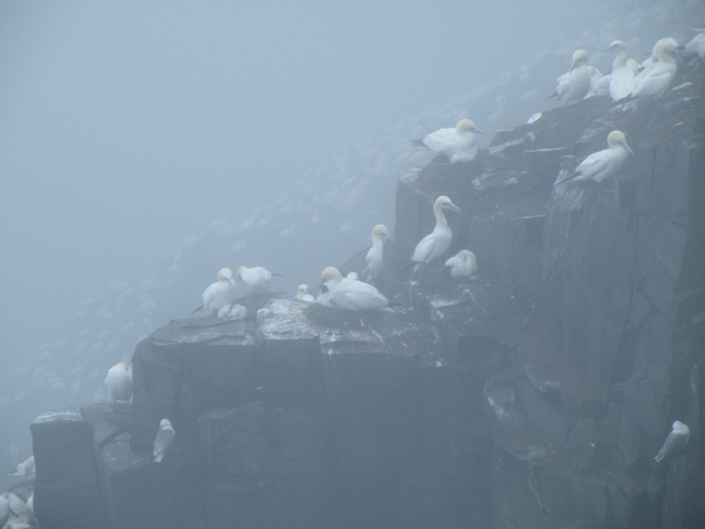 Intimate portrait of Northern Gannet domestic life.