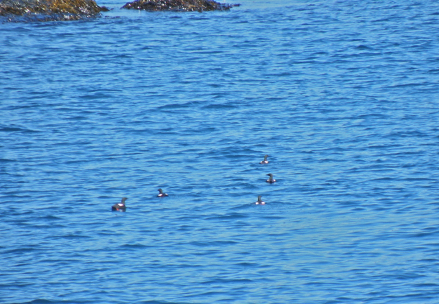 Black Guillemots off the starboard bow of the Mary Vincent.
