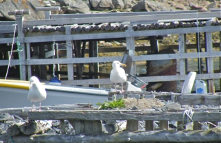 Herring Gulls awaiting a handout at Bay Bulls.