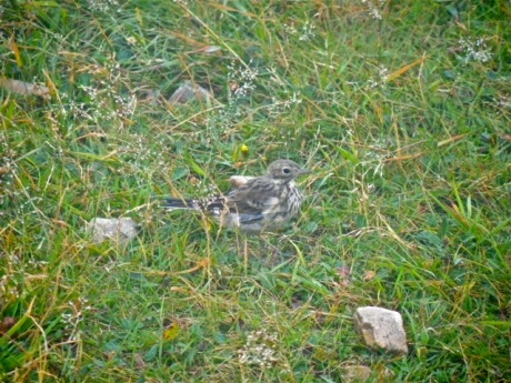 An American Pipit greets us along the soggy path at Cape St. Mary's Ecological Reserve.