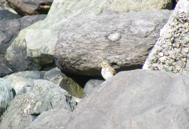 A Savannah Sparrow bounced among the rocks along the bay at Argentia.