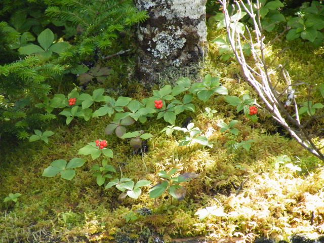 Bunchberry (Cornus canadensis) is a dwarf dogwood tree that dots the dappled forest floor with brilliant red in late summer.