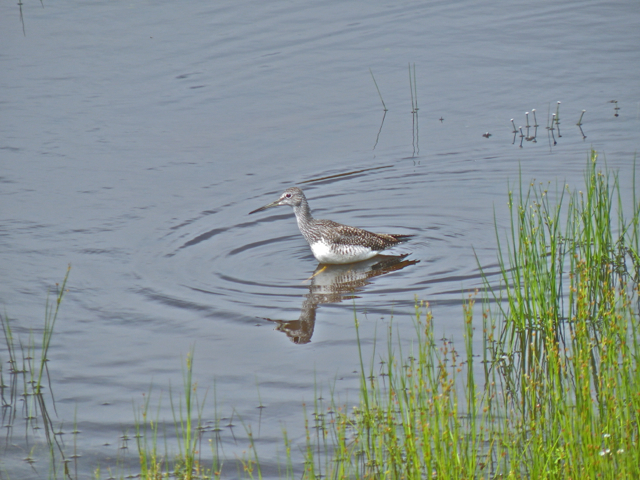 Greater Yellowlegs on its breeding grounds? Yep.