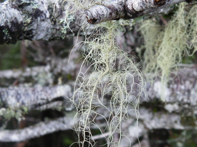 "Old man's beard - the epiphytic Usnea lichen - was ubiquitous at Salmonier Nature Park.  I always appreciate things that provide an opportunity for me to use the word ""festooned""."