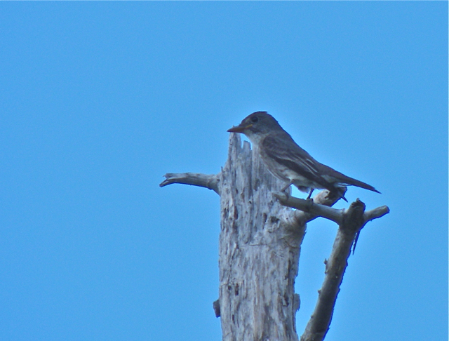 Bad angle on a great bird: Olive-sided Flycatcher.  At home in the boreal forest where this bird hatched a few weeks earlier, it was soon to begin an epic journey to the forests of Peru. I wish it well!