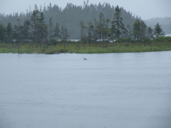 It took me about 35 years of birding to find a loon with a youngster on its back.  Such a spectacle is apparently a mundane roadside observation on the Avalon Peninsula.