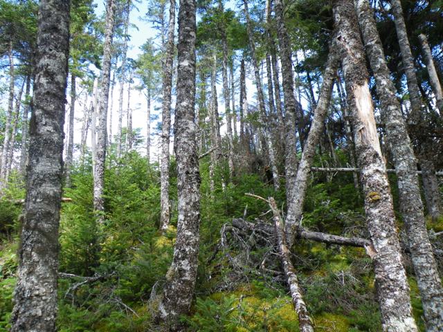 spruce:fir