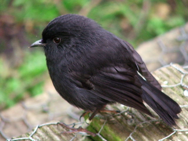Black Robin photo by Frances Schmechel