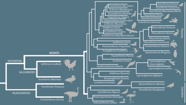 The updated avian tree shows how many different kinds of birds evolved quickly after a mass extinction 66 million years ago. AAAS/Carla Schaffer