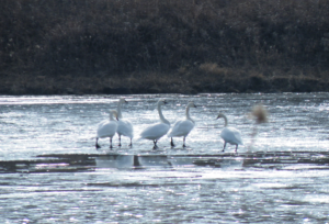 Tundra Swans on an icy pond at the Tallgrass Prairie Preserve.