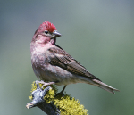 Cassin's Finch, photo by Dave Menke