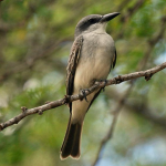 Gray Kingbird, photo by Dick Daniels
