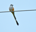 Scissor-tailed Flycatcher, photo by Tim O'Connell