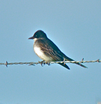 Eastern Kingbird, photo by Tim O'Connell