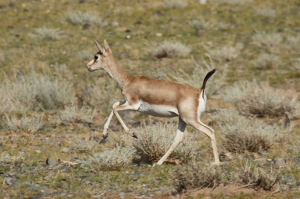 Goitered Gazelle in the Gobi, by Alastair Rae