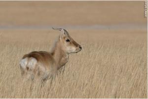 Mongolian Gazelle, by Kirk Olson.