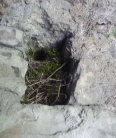 Presumed Wren nest in a tiny nook at Trim Castle!