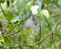 Hover-glean manuever from a Blue Tit.