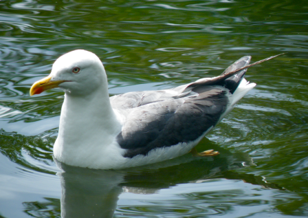 Closest I've gotten to a Lesser Black-backed Gull.