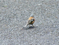 This backside of a Chaffinch was the best I could muster.
