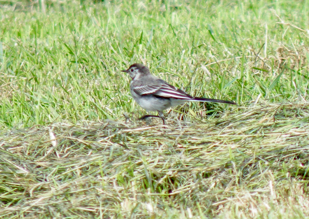 White Wagtail in a more appropriate setting.