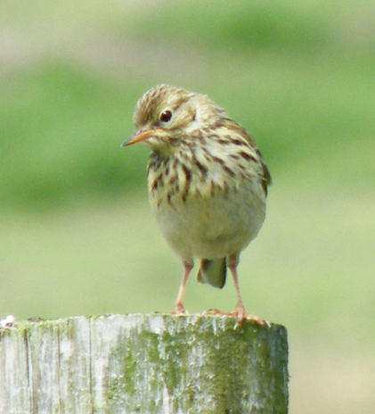 Meadow Pipits are quite tame here.