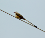 Scissortail ready to take flight as storm bears down.