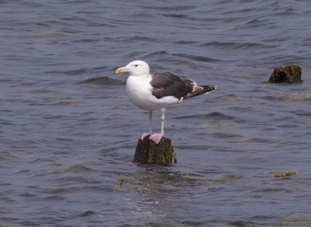 Great Black-backed Gull, by Andreas Eichler