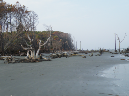 Mother Atlantic reclaiming a barrier island in South Carolina. Here, palmetto trees give way to a dense stand of loblolly pine, but both are giving way to the tide.