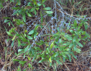 wax myrtle with waxy fruits, photo by Homer Edward Price