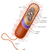 A generalized prokaryotic cell, by Ali Zifan.